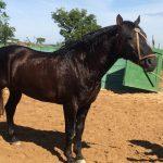 Saiba por que o cavalo crioulo tem pelagem mais resistente