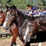 Cuidados com a alimentação do Cavalo Crioulo antes das provas do Freio de Ouro