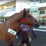 Conheça os campeões da raça crioula da Expozebu