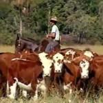 Cavalos crioulos treinam para o Freio de Ouro na lida das fazendas