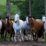 Oportunidade de investir em coberturas e animais da raça Crioula