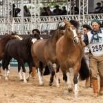 Cavalo Crioulo mantém crescimento de exemplares inscritos na Expointer