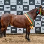Cala Bassa faz dobradinha nos grandes campeonatos da raça Crioula na Expointer