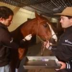 Veterinários cuidam do condicionamento físico dos animais classificados para final