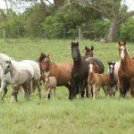 Cavalo Crioulo registra crescimento de 8,97% no Tocantins