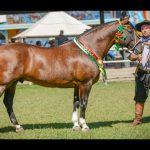 Qualidade marca passaporte do Cavalo Crioulo em Campo Grande