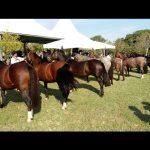Uruguaiana revela seus classificados da raça Crioula à Expointer