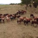 Fazenda Jerivá comercializa cavalos crioulos em todo Brasil