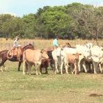 Conheça a relação de sucesso entre Crioulo e Nelore no campo