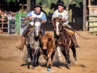 cavalo crioulo Guitarreiro Fortacho - freio de ouro